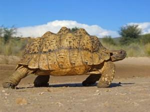 Leopardskildpadde i naturen
